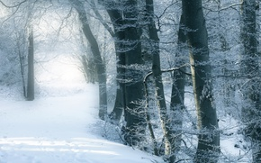 Picture snow, trees, winter forest