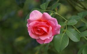 Picture macro, rose, Bud, pink rose
