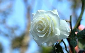Picture rose, Bud, bokeh, white rose