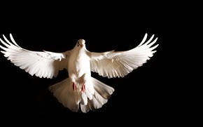 Picture white, feathers, dove