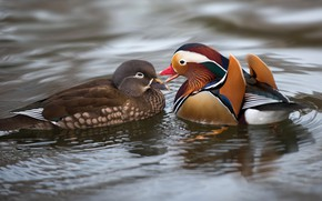 Picture water, love, birds, nature, pond, duck, pair, lovers, duck, pond, female, male, bright plumage, tangerine, …