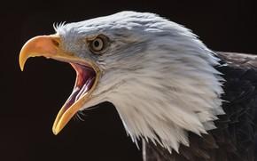 Wallpaper nature, bird, Bald Eagle
