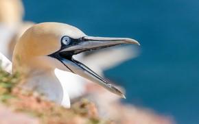 Picture bird, beak, white, the Northern Gannet
