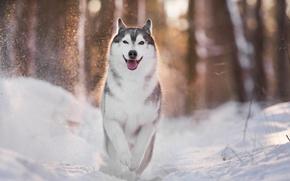 Picture winter, light, dog, husky, bokeh