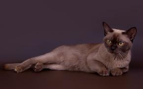 Picture cat, handsome, Burmese