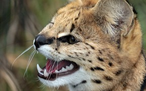 Picture cat, face, Serval