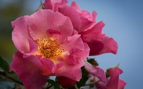 Wallpaper background, roses, Bush, macro, flowers