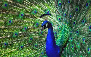 Picture look, blue, nature, green, bird, feathers, fan, tail, peacock, crest, breast, revealed