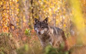 Picture portrait, wolf, predator, face, autumn