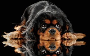 Picture look, reflection, portrait, dog, face, black background, King Charles Spaniel, English toy Spaniel