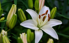Picture macro, Lily, white, buds