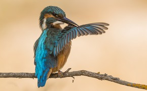 Picture bird, wing, Kingfisher, cleaning