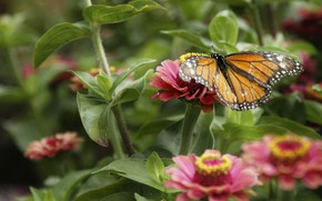 Picture nature, butterfly, Flower