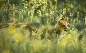 Picture grass, nature, the Paraguayan Fox