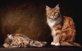 Wallpaper cat, sitting, cats, handsome, pair, breed, red, Maine Coon, cats, grey, two, the dark background, ...
