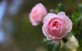Picture macro, rose, Bud, bokeh