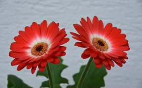 Picture gerbera, Bokeh, Red flowers, Red flowers