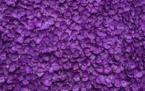 Picture flowers, background, petals, purple, background, purple, petals, floral