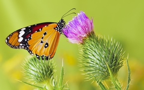 Picture butterfly, butterfly, monarch, Thistle