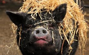 Picture face, nose, pig, snout