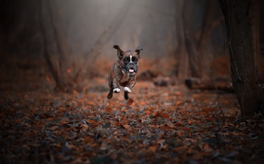 Picture autumn, dog, running
