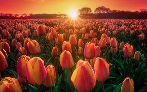 Picture field, sunset, nature, tulips, buds