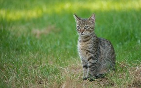 Picture grass, cat, lawn