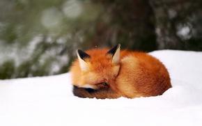 Wallpaper Fox, winter, background, snow, bokeh, Fox