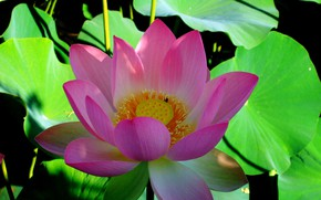 Wallpaper petals, water, Lotus, leaves