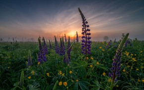 Picture dawn, meadow, Lupin