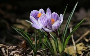Picture spring, Krokus, saffron