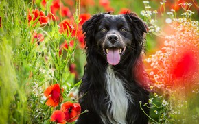 Picture field, language, summer, face, flowers, nature, Maki, portrait, dog, red, black, poppy field