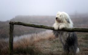 Wallpaper nature, fog, dog
