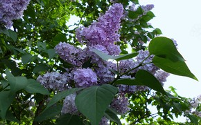 Picture spring, may, lilac