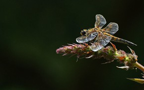 Wallpaper dragonfly, insect, blackbrush four-spotted chaser, four-spotted chaser dragonfly