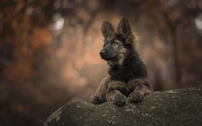 Picture stone, puppy, bokeh, Puppy love