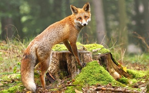 Wallpaper forest, Fox, bokeh, leaves, moss, stump, nature, red, Fox