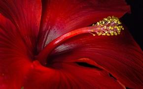 Picture macro, red, hibiscus