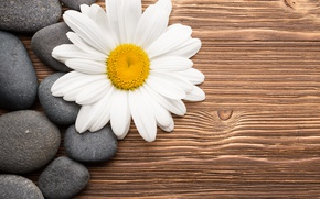 Wallpaper flower, wood, Daisy, camomile, stones