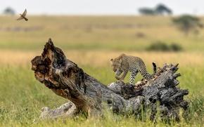 Wallpaper snag, bird, grace, predator, tree, leopard