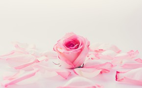 Picture flower, Rose, petals, Bud