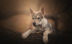 Picture dog, look, The Czechoslovakian Wolfdog, Czechoslovakian, Wolfdog, portrait, puppy, log, bokeh