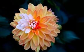 Picture flower, petals, Bud