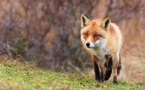 Picture grass, look, branches, nature, background, Fox, red, walk, wildlife, Fox