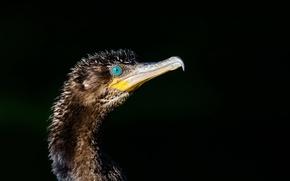 Picture bird, cormorant, Phalacrocorax brasilianus, Bigua