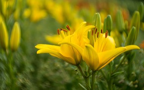 Picture flowers, background, Lily, yellow, garden, blurry