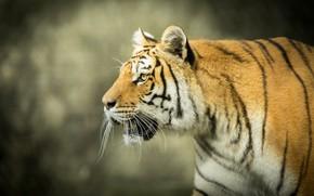 Picture face, tiger, background, predator, profile, wild cat, bokeh