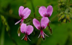 Picture Macro, Macro, Pink flowers, Pink flowers