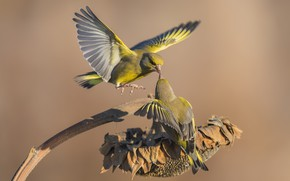 Picture birds, sunflower, a couple, greenfinches