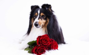 Picture flowers, animal, roses, dog, dog, collie